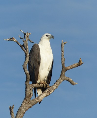 Contractual obligation white bellied sea eagle